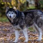 Husky (11)