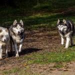 Husky (3)
