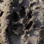 Husky (93)